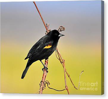 Radiant Red-winged Canvas Print by Al Powell Photography USA