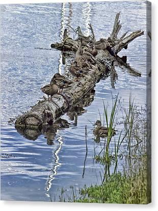 Raft Of Ducks Canvas Print