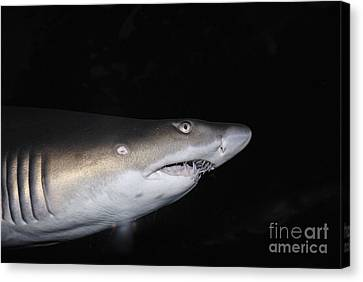 Ragged-toothed Shark In Aquarium Canvas Print by Sami Sarkis