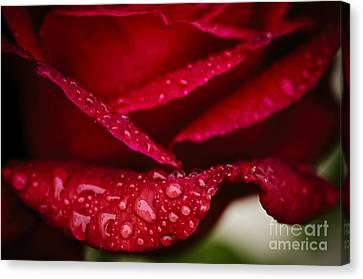 Rain Drops On Rose Petal Canvas Print by Oscar Gutierrez