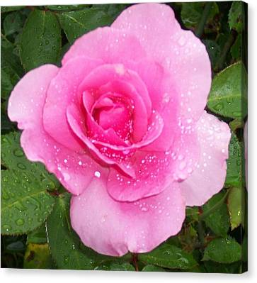 Rain Kissed Rose Canvas Print by Catherine Gagne