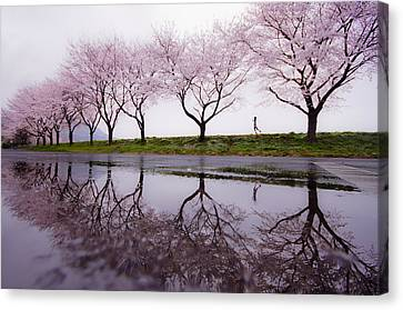 Cherry Blossoms Canvas Print - Rain Of Spring by Kouji Tomihisa