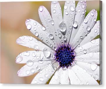 Rain Soaked Daisy Canvas Print by Kaye Menner