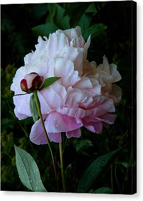 Canvas Print featuring the photograph Rain-soaked Peonies by Rona Black