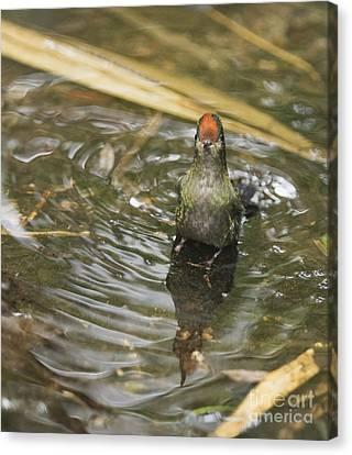 Canvas Print featuring the photograph Rainbow-bearded Thornbill Hummingbird by Dan Suzio