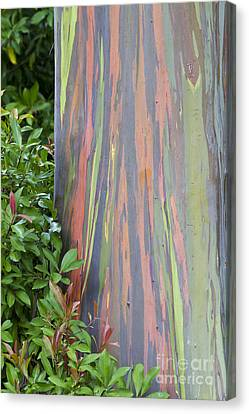 Rainbow Eucalyptus Canvas Print by Bryan Keil