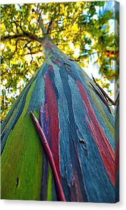Rainbow Eucalyptus Canvas Print by Mitch Cat
