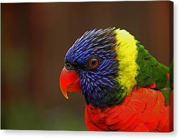 Canvas Print featuring the photograph Rainbow Lorikeet by Andy Lawless