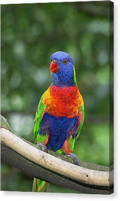 Rainbow Lorikeet (trichoglossus Canvas Print by Cindy Miller Hopkins