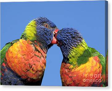 Rainbow Lorikeets Canvas Print by Steven Ralser