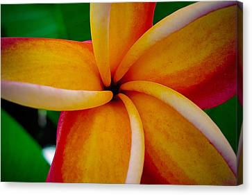 Rainbow Plumeria Canvas Print by TK Goforth
