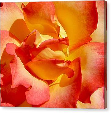 Rainbow Sorbet Rose Close Up Canvas Print by Denise Mazzocco