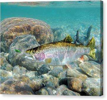 Rainbow Trout And Green Ghost Canvas Print by Paul Buggia