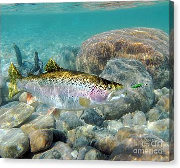 Rainbow Trout And Green Ghost Wet Fly Canvas Print by Paul Buggia