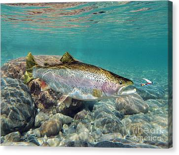 Rainbow Trout And Royal Coachman Canvas Print by Paul Buggia