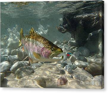 Rainbow Trout And Supervisor Fly Canvas Print by Paul Buggia