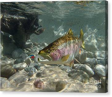 Rainbow Trout And Wet Fly Canvas Print by Paul Buggia