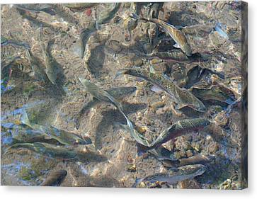 Rainbow Trout Art Prints Canvas Framed Canvas Print by Baslee Troutman