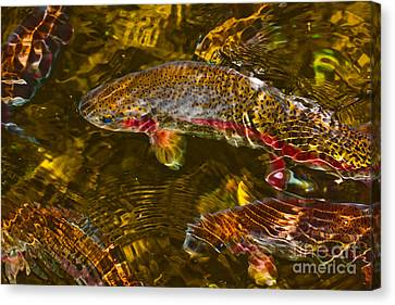 Rainbow Trout Canvas Print by Cari Gesch