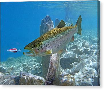 Rainbow Trout Pursuing Red And White Spoon Canvas Print by Paul Buggia