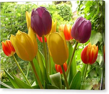 Rainbow Tulips  Canvas Print