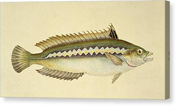 Hunting Canvas Print - Rainbow Wrasse by E Donovan and FC and J Rivington