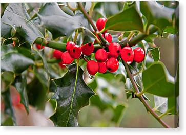 Raindrop Falling Off Holly Berries And Leaves Canvas Print