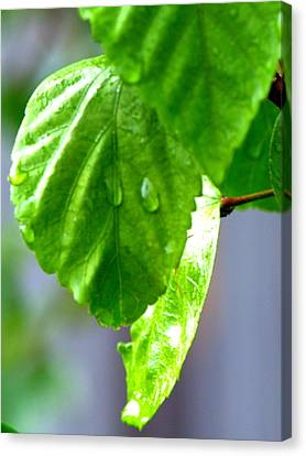 Canvas Print featuring the photograph Raindrop On Roses by Cathy Shiflett