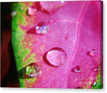 Raindrop On The Leaf Canvas Print by D Hackett
