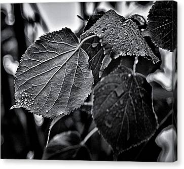 Raindrops After The Storm Canvas Print by Brian Carson