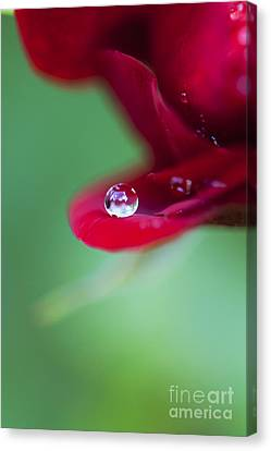 Raindrops And Roses Canvas Print
