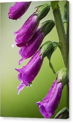 Raindrops Cling To Foxglove Petals_ Canvas Print by Robert L. Potts
