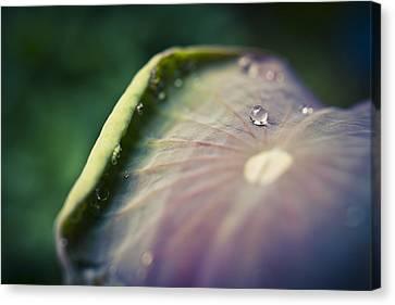 Raindrops On A Lotus Leaf Canvas Print by Priya Ghose