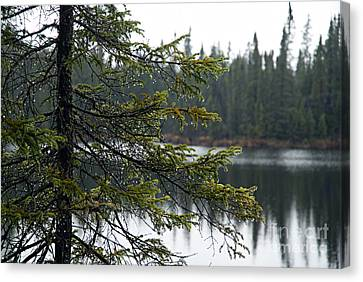 Raindrops On An Evergreen Canvas Print by Larry Ricker