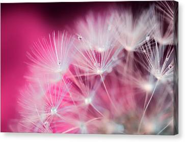 Raindrops On Dandelion Magenta Canvas Print