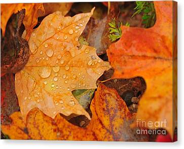 Fall Leaves Canvas Print - Raindrops On Fallen Maple Leaf by Terri Gostola
