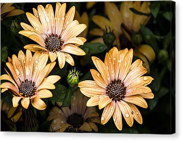 Raindrops On Gerbera Daisies Canvas Print by Photographic Art by Russel Ray Photos