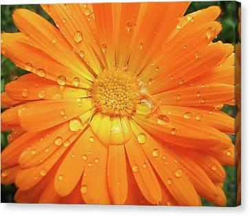 Raindrops On Orange Daisy Flower Canvas Print by Jennie Marie Schell