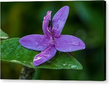 Raindrops On Purple Petals Canvas Print