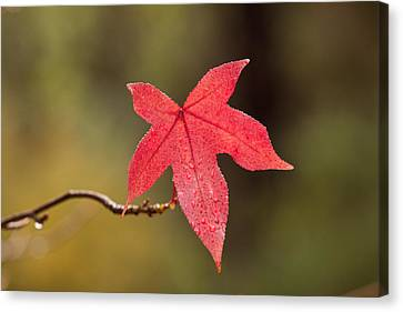 Raindrops On Red Fall Leaf Canvas Print by Michelle Wrighton