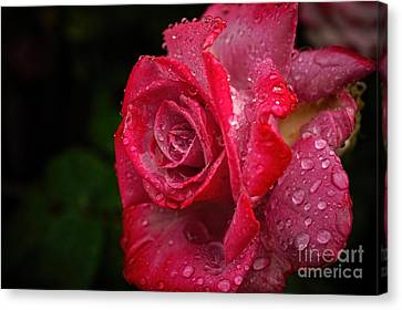 Raindrops On Roses Canvas Print by Peggy Hughes