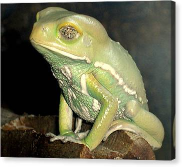 Rainforest Frog Canvas Print