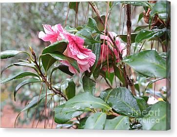 Rainy Camellias Canvas Print