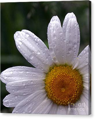 Rainy Day Daisy Canvas Print