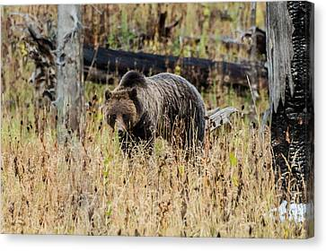 Canvas Print featuring the photograph Rainy Day Grizzly Sow by Yeates Photography