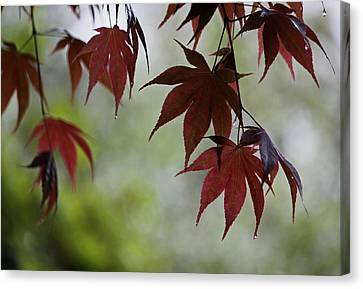 Rainy Day Series - Japanese Red Maple II Canvas Print by Suzanne Gaff