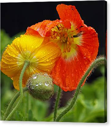 Rainy Day Series - Orange And Yellow Poppies Canvas Print by Suzanne Gaff
