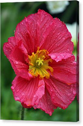 Rainy Day Series - Red Poppy Canvas Print by Suzanne Gaff