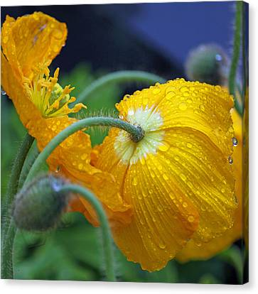 Rainy Day Series - Yellow Poppies Canvas Print by Suzanne Gaff