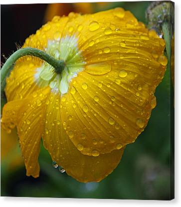 Rainy Day Series - Yellow Poppy Canvas Print by Suzanne Gaff